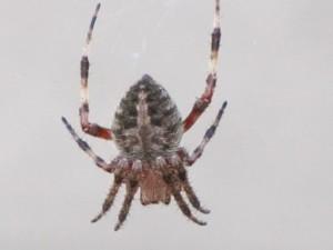 Huntington Beach Spider